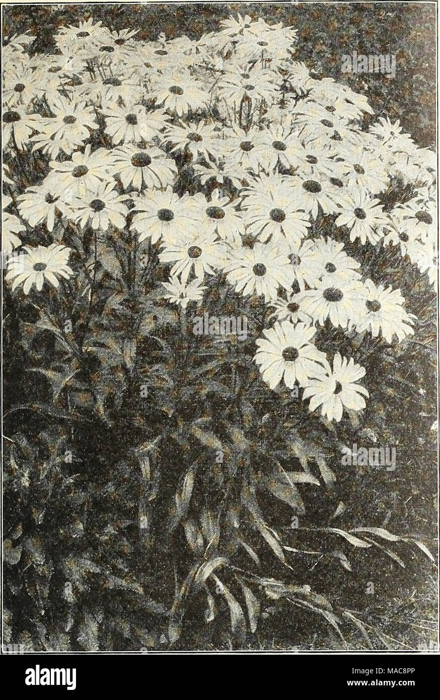 Dreers mid summer list 1928 shasta daisy alaska cerastium snow shasta daisy alaska cerastium snow in summer per pkt 1911 tomentosum a very pretty dwarf white leaved edging plant bearing small white flowers mightylinksfo
