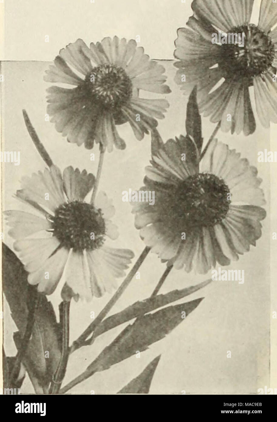 Dreers mid summer list 1925 helenium helenium sneeze wort dreers mid summer list 1925 helenium helenium sneeze wort strong growing hardy perennials succeeding in any soil and useful in the hardy border mightylinksfo