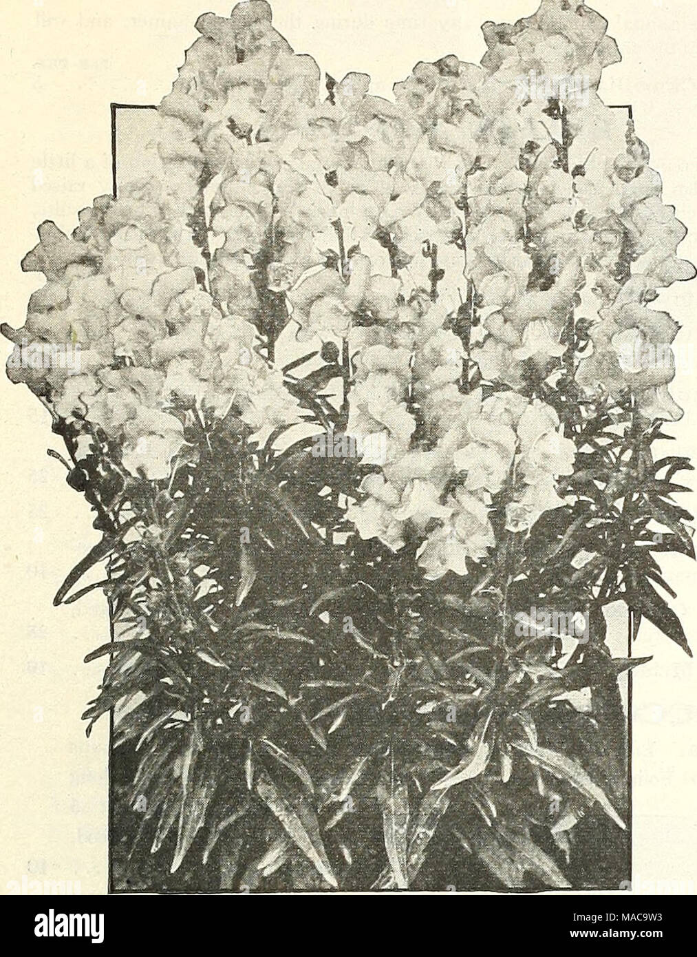 . Dreer's mid-summer list 1922 . Antirrhinum The Fawn ANTIRRHINUM (snapdragon) Within the last few years Snapdragons have become immensely popular. This is not to be wondered at, as, whether used for cutting or for show in the garden, they are one of the most valuable flowers which can readily be grown from seed. We offer two distinct types, the large-flowering, tall-growing, or giant, and the equally large-flowered, half-dwarf variety. For winter flowering in the greenhouse seed is usually sown from July to September. Giant Varieties. Of tall growth, very large individual flowers: PER PKT. 11 Stock Photo