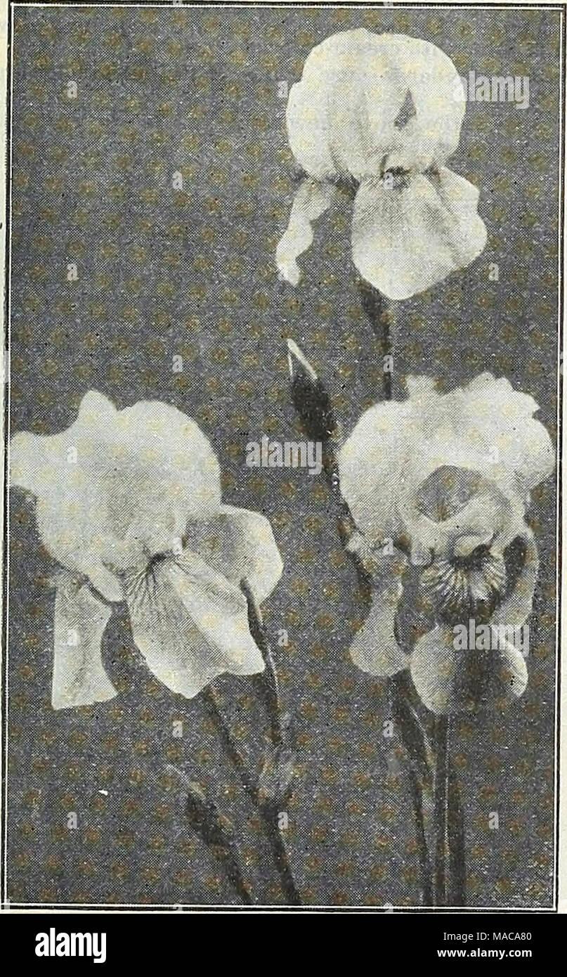 Is iris a flower gallery flower wallpaper hd is iris a flower choice image flower wallpaper hd dwarf iris bulbs stock photos dwarf iris izmirmasajfo