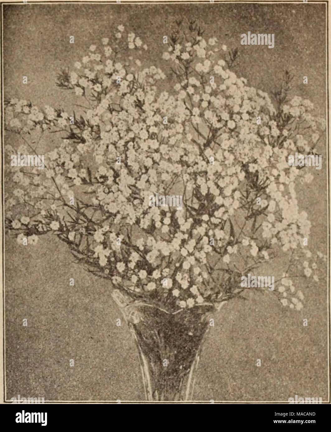 . Dreer's wholesale price list / Henry A. Dreer. . GYPSOPHILA PANICULATA FL. PL. Geum (Avens). Atrosanguinea. 3-inch pots 100 7 00 Coccineum. 3-inch pots 1 00 7 00 Heldreichi. 3-inch pots 1 00 7 00 Mrs. Bradshaw (New). 3-inch pots 1 50 10 00 Gillenia (Bowman's Root). Trifoliata 2 00 15 00 Glechoma or Nepeta. Variegata (Variegated Groundsel or Ground Ivy). 3-inch pots 85 6 00 Globularia. Tricosantha 2 00 15 00 Gunnera. Scabra. Fine strong plants in 5-inch pots of this grand foliage plant. 35 cents each; $3.50 per dozen. ORNAMENTAL GRASSES AND BAMBOOS. These are now used very extensively for bed Stock Photo