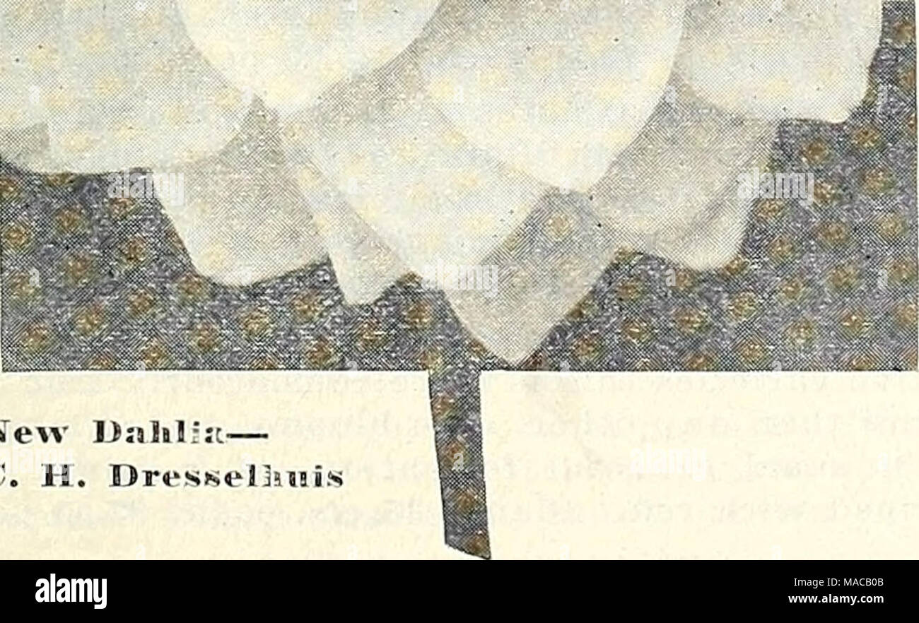 """. Dreer's wholesale price list : flower seeds for florists plants for florists bulbs for florists vegetable seeds fertilizers, fungicides, insecticides, implements, etc . New Dahlrjt— Mr. C. H. Dressel3u!is A WONDERFUL COMMERCIAL DAHLIA FOR CUT FLOWERS """"Mr. C. H. Dresselhuis"""" For many years the variety Delice has been a favorite cut-flower and while beautiful, is not free flowering. In this we have a similar but even more pleasing color. It is a soft rose-pink with white suffusion towards the tips, and what is most important, one of the most prolific bloomers in our fields. The flowe - Stock Image"""