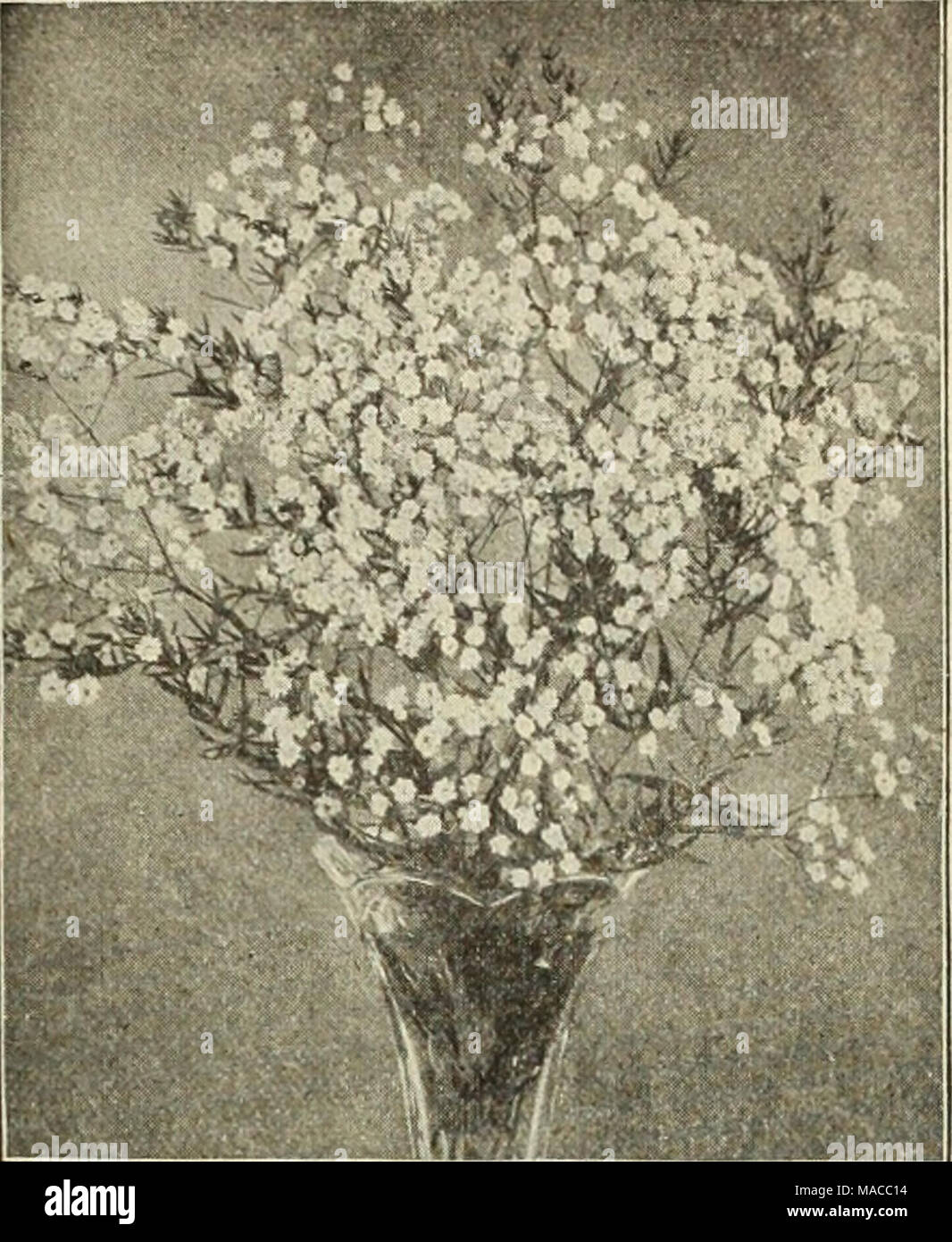 . Dreer's wholesale price list of seeds plants and bulbs for florists : fertilizers, insecticides, tools and sundries . GYPSOPHILA PANICULATA FL. PL. Geum (Avens). Atrosanguinea. 3-inch pots 1 00 7 00 Coccineum. 3-inch pots 1 00 7 00 Heldreichi. 3-inch pots 1 00 7 00 Mrs. Bradshaw iNewi. 3-inch pots 1 50 10 00 Gillenia (Bowman's Root). Trifoliata 2 00 15 00 Glechoma or Nepeta. Variegata 'Variegated Groundsel or Ground Ivy). 3-inch pots 85 6 00 Globularia. Tricosantha 2 00 15 00 Gunnera. Scabra. Fine strong plants in 5-inch pots of this grand foliage plant. 35 cents each; $3.50 per dozen. ORNAM Stock Photo