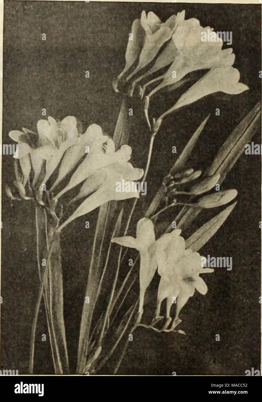 Freesia Seeds Stock Photos & Freesia Seeds Stock Images - Alamy