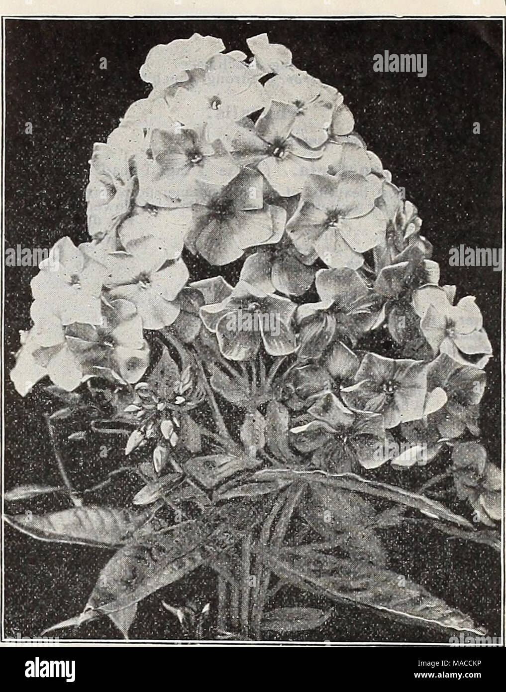 . Dreer's wholesale price list spring edition April 1910 June : seeds plants and bulbs for florists fertilizers, insecticides, tools, sundries, etc . HARDY PHLOX Best Light Varieties With Dark Eyes. Bridesmaid (Tall). White, with large crimson-carmine centre. Colibri (Tall). White, with crimson-carmine centre; very late. Henry Murger (Tall). Beautiful variety; white, crimson-carmine centre. H. O. Wijers (Tall). Glistening white, with bright crimson-carmine eye. Price : Any of the Light Varieties with Dark Eyes, $5.00 per 100 ; $40.00 per 1000. Best Purple and Crimson Varieties. B. Comte (Tall) Stock Photo