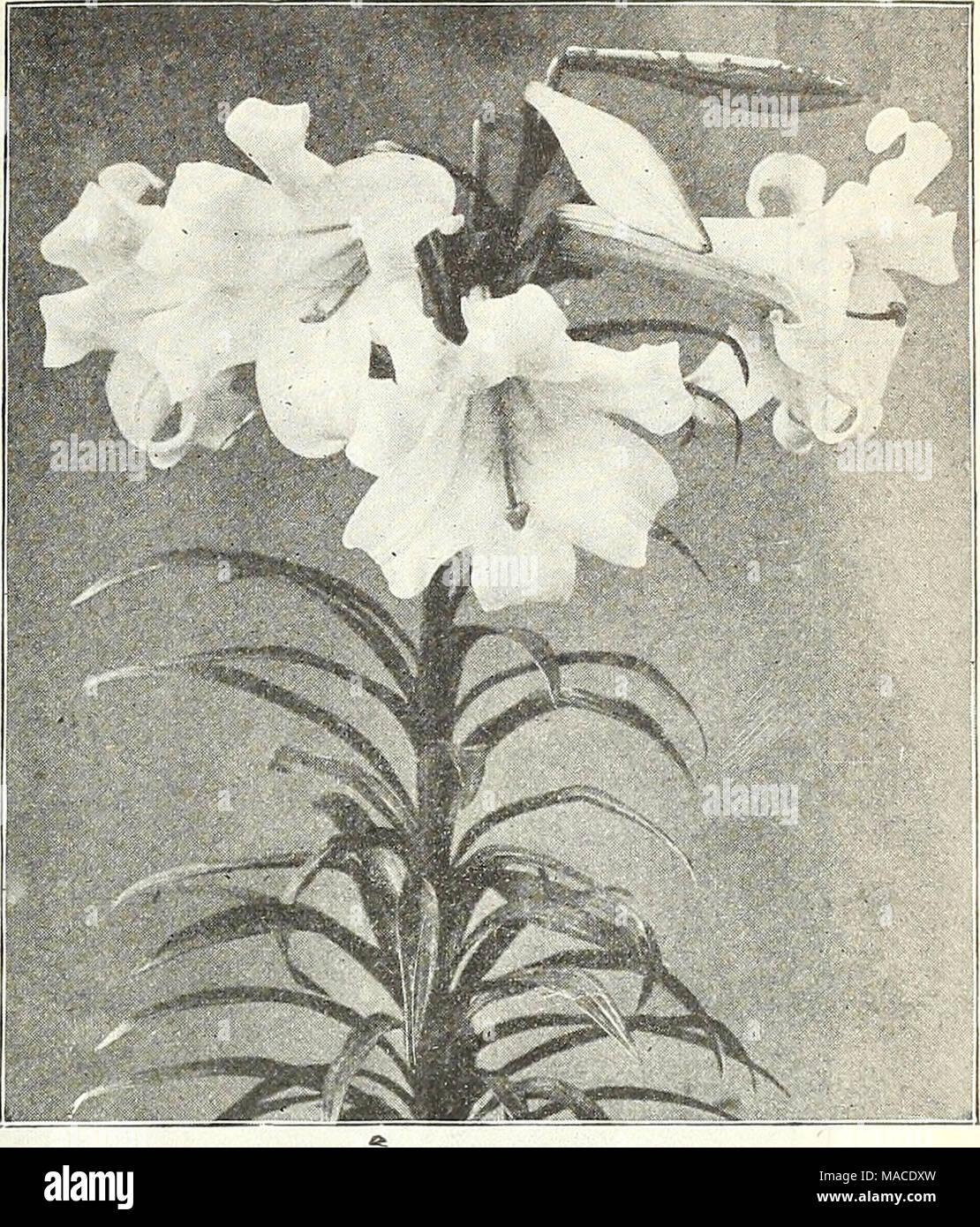 Dreers Wholesale Price List 1908 Bulbs Plants Seasonable Flower