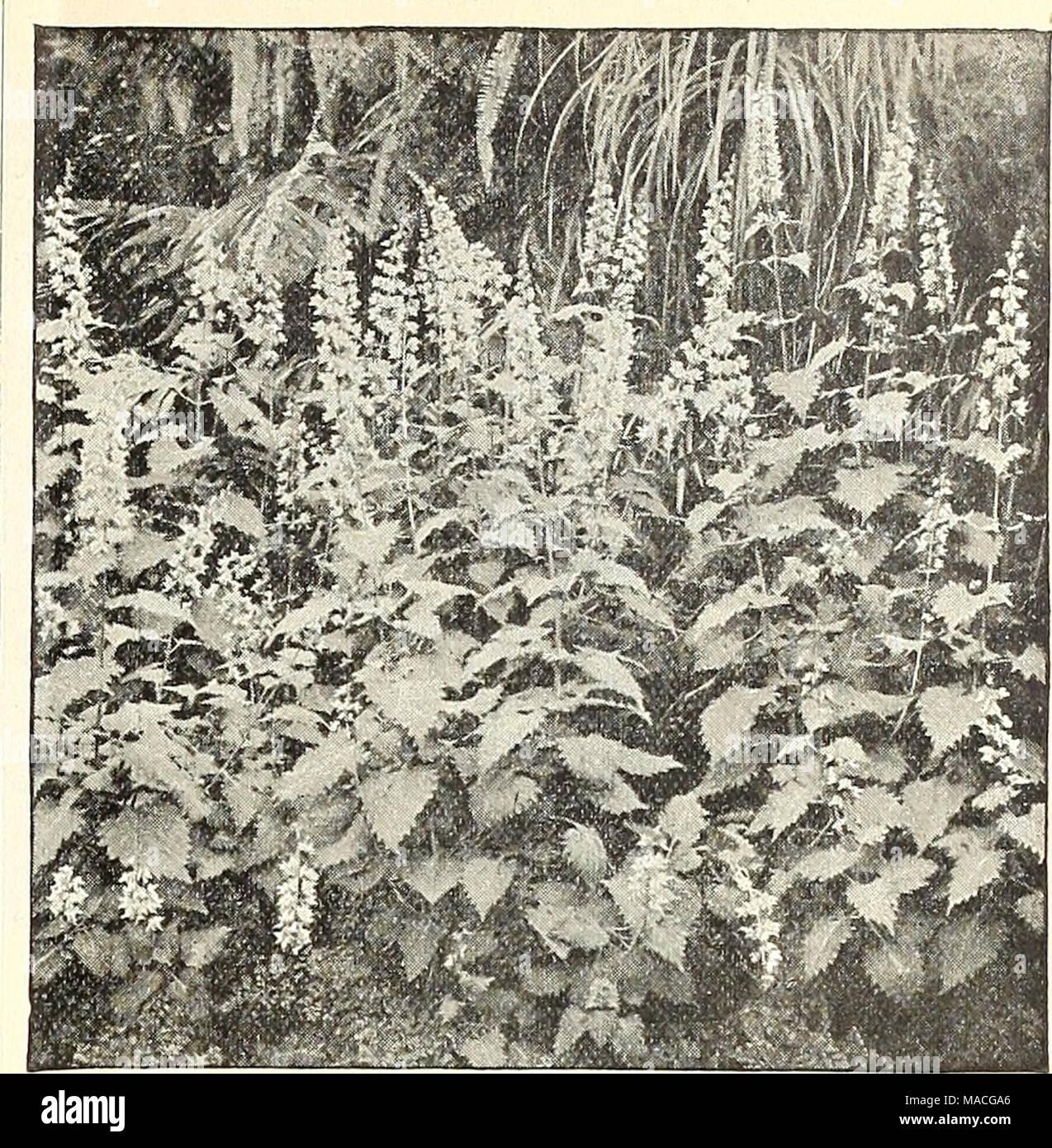 ". Dreer's wholesale price list summer edition 1902 July to August : seasonable flower and vegetable seeds, fertilizers, tools, etc., etc . COLEUS THYRSOIDEUS. Miscellaneous Begonias. Per doz. Per 100 Argentea Guttata. 3-inch pots . . $0 75 $6 00 Alba Picta. 3-inch pots 75 6 00 liaageana. "" "" 1 00 8 00 Metallica. "" "" 75 6 00 Thurstoni. "" "" 75 6 00 Rex, in 12 varieties. 3-inch pots .... I 00 8 00 Bongainvillea Glabra Sanderiana. A fine lot in 4-inch pots of this useful plant. $2.00 per dozen ; $15.00 per 100. Fancy-Leaved Caladinms. A choice collection of 50 varieti Stock Photo"