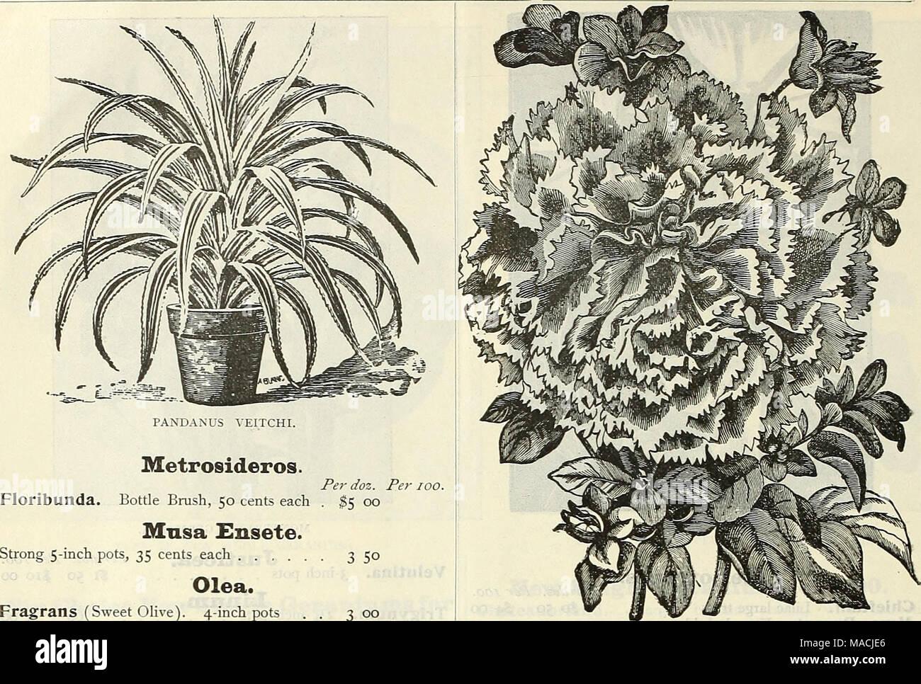 Passion flower 2 Litre pot PASSIFLORA CONSTANCE ELLIOTT