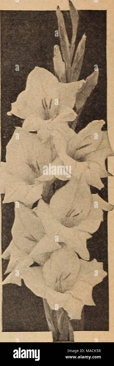 . Dreer's wholesale catalog for florists and market gardeners : 1942 winter spring summer . Bleeding Heart Betty Nuthall Giant Nymph •ATbatros. New giant-flowered Dure white. 45c per doz.; $2.40 per 100; $20.00 per 1000. Ave Maria. Outstanding light blue. 45c per doz.; $2.70 per 100; $23.00 per 1000. Bagdad. Smoky old rose. Very large. 40c per doz.; $2.00 per 100; $16.00 per 1000. Betty Nuthall. Glowing orange-pink with rich golden throat. One of the best. 35c per doz.; $1.70 per 100; $13.00 per 1000. Bleeding Heart. Light pink with large red blotch. A great Improvement on the popular Mrs. Fra Stock Photo