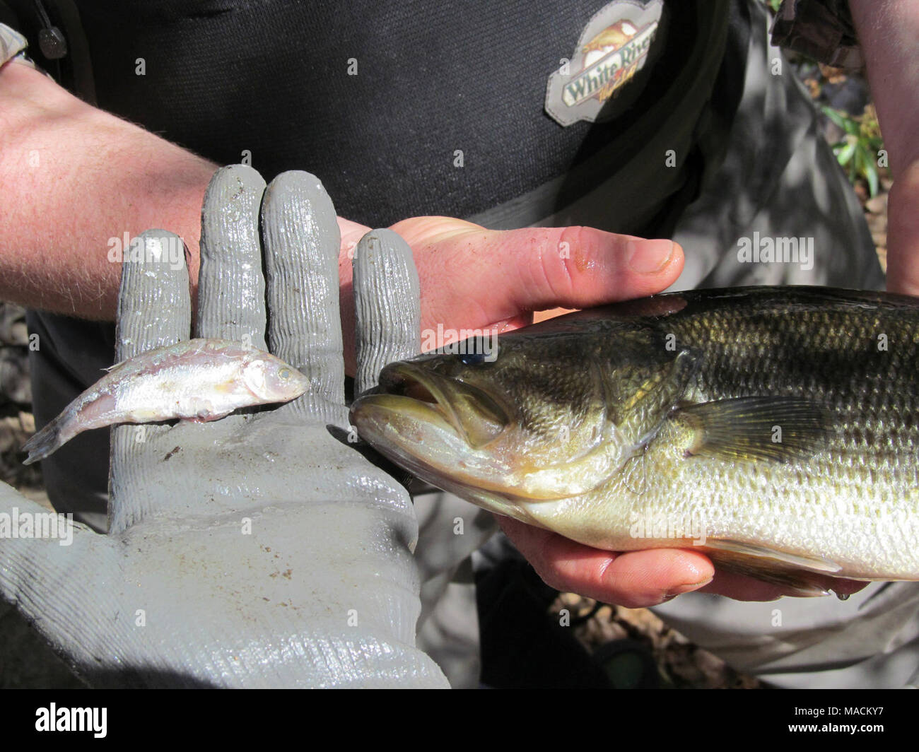 Santa Ana sucker conservation. This large mouth bass removed from the habitat of the Santa Ana sucker had been munching on another little native fish called the arroyo chub. Removing nonnative species is one way to help recover the Santa Ana sucker. () - Stock Image