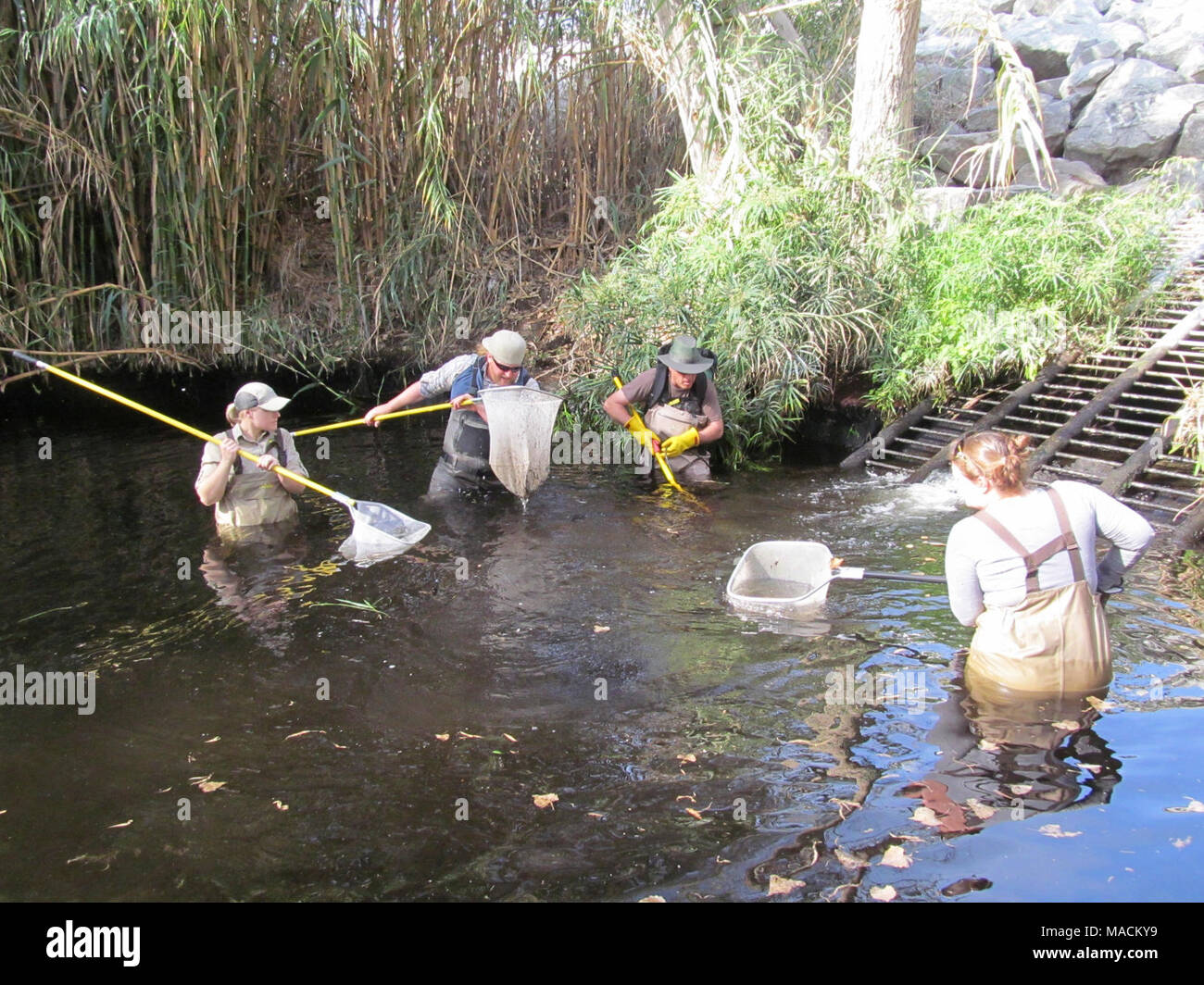 Santa Ana sucker conservation. Biologists from multiple agencies in southern California working together to remove nonnative fish from Santa Ana sucker habitat. - Stock Image