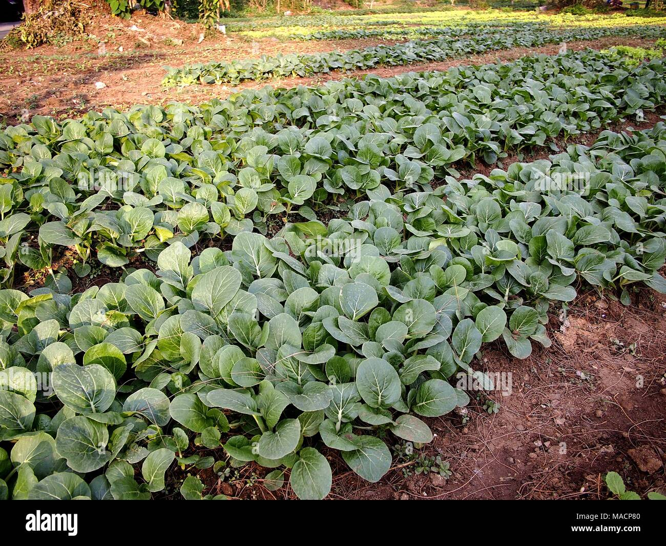 Photo of Pechay plant or Silverbeet - Stock Image