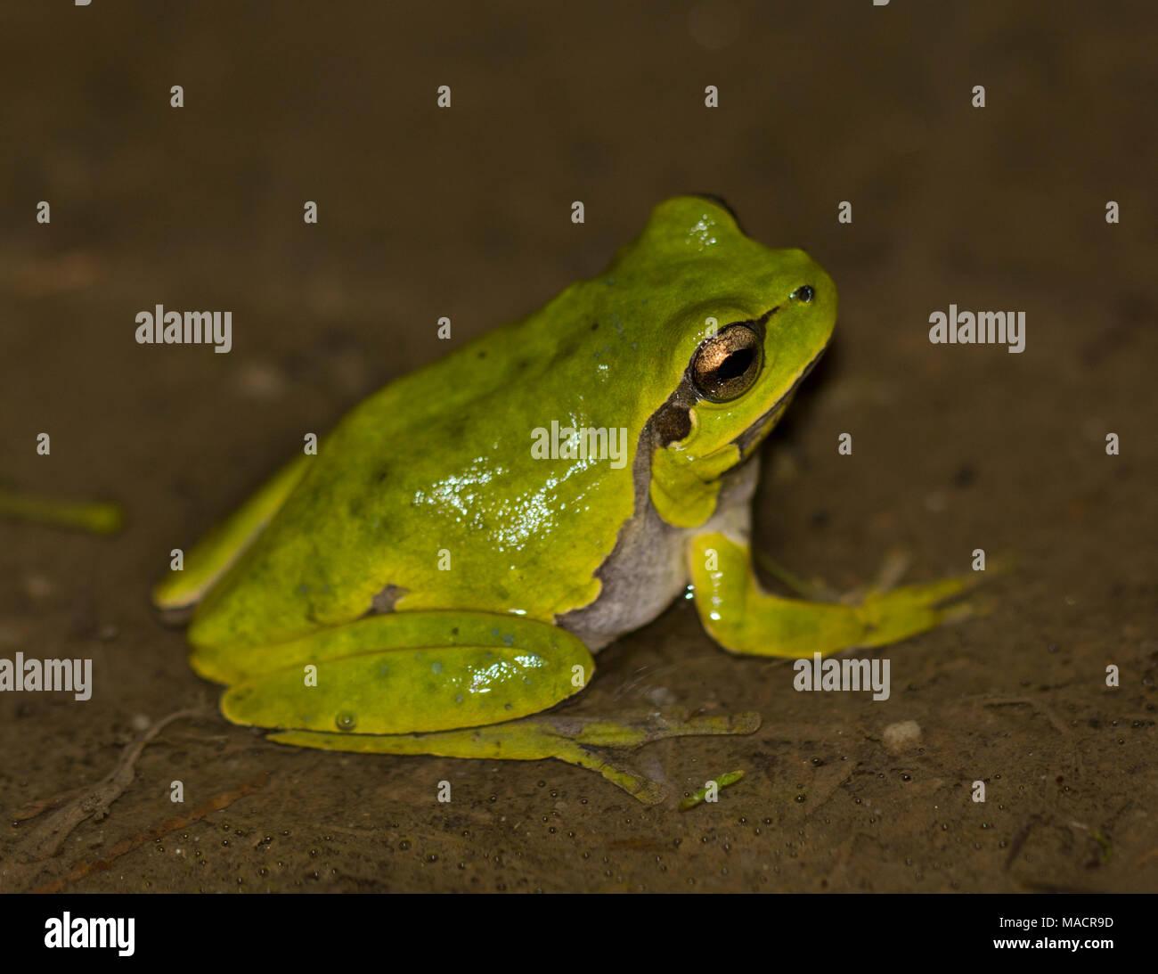 Eastern Tree Frog (Hyla orientalis) Dodecanese island of Kos Greece - Stock Image