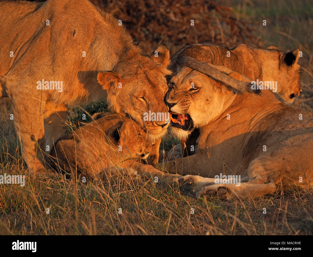 adult lioness snarls as young adult male approaches young cubs of pride contact grooming in pre-hunt ritual in Masai Mara Conservancies, Kenya, Africa - Stock Image