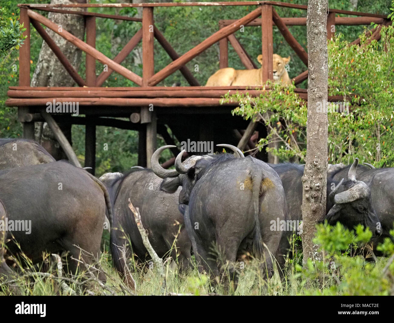 Lioness (Panthera leo) sitting on raised game viewing deck safe from a belligerent herd of cape buffalo below - Masai Mara Conservancies, Kenya,Africa - Stock Image