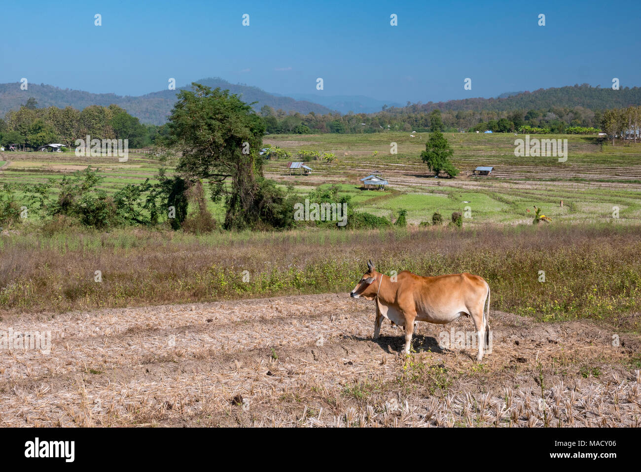 Cow in a Field in Pai village in north Thailand - Stock Image