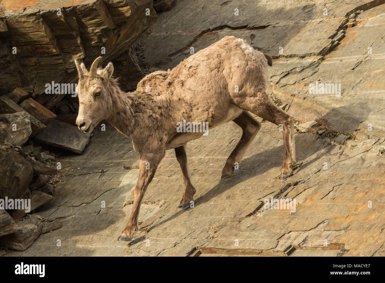 A Rocky Mountain Bighorn Ewe Heads Down a Cliff - Stock Image