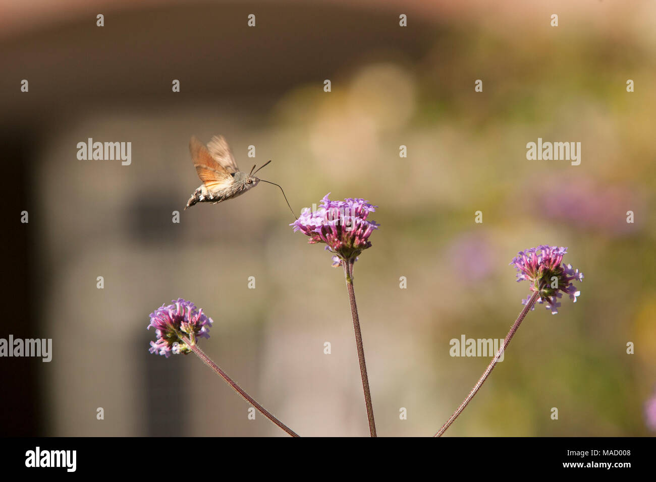 A hummingbird hawk moth Macroglossum stellatarum, in a country garden in Somerset England UK GB. Its long proboscis is visible for feeding on nectar - Stock Image
