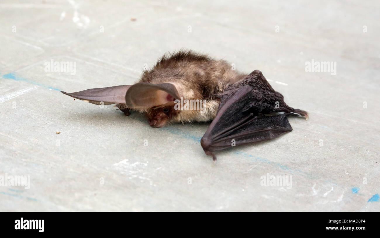 Dead brown long-eared bat (Plecotus auritis). - Stock Image