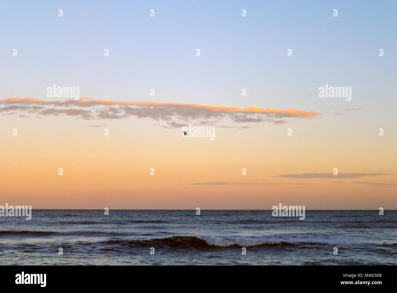 Beautiful sunset with bird flying across the sea wings wide open over at Punta del Este, Uruguay - Stock Image