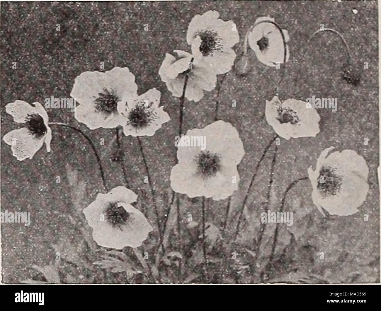 Deep pink california poppy stock photos deep pink california poppy dreers wholesale catalog for florists winter spring summer 1938 papaver nudlcaule mightylinksfo