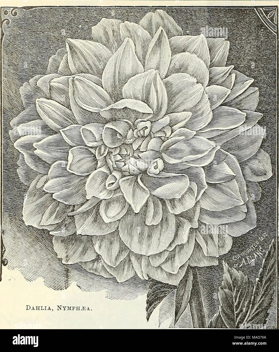 . Dreer's quarterly wholesale price list of tools, fertilizers, insecticides, sundries, etc . Dahlia, Nysiph^a Eighteen Grand Cactns Dahlias. Celestine. Yellow, suffused with orange, giving a rich golden yellow effect. Countess of Pembroke. Pure delicate rosy lavender, flowers of medium size, of perfect form and extremely profuse bloomer. Empress of India. Deep rich maroon, a fine flower. Gilt Edge. Entirely distinct from all others, each petal having a golden yellow edge with white centre. ELynerith. Brilliant vermilion, shading to a lighter shade at base of petals. Lemon Giant. Pure lemon of - Stock Image