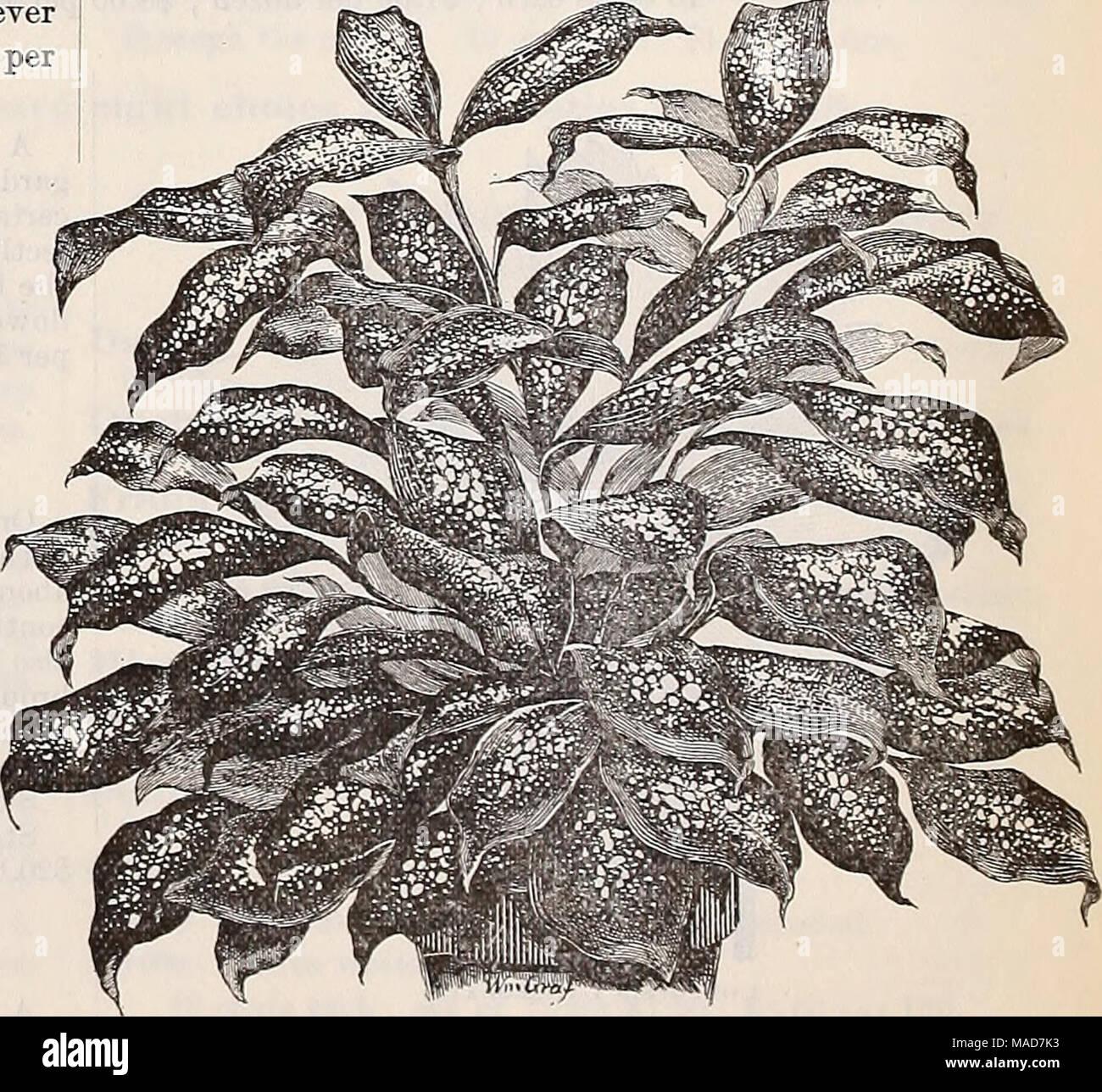 . Dreer's quarterly wholesale price list of seeds plants bulbs &c. tools fertilizers sundries &c . Dka&ena Godseffiana. - Stock Image