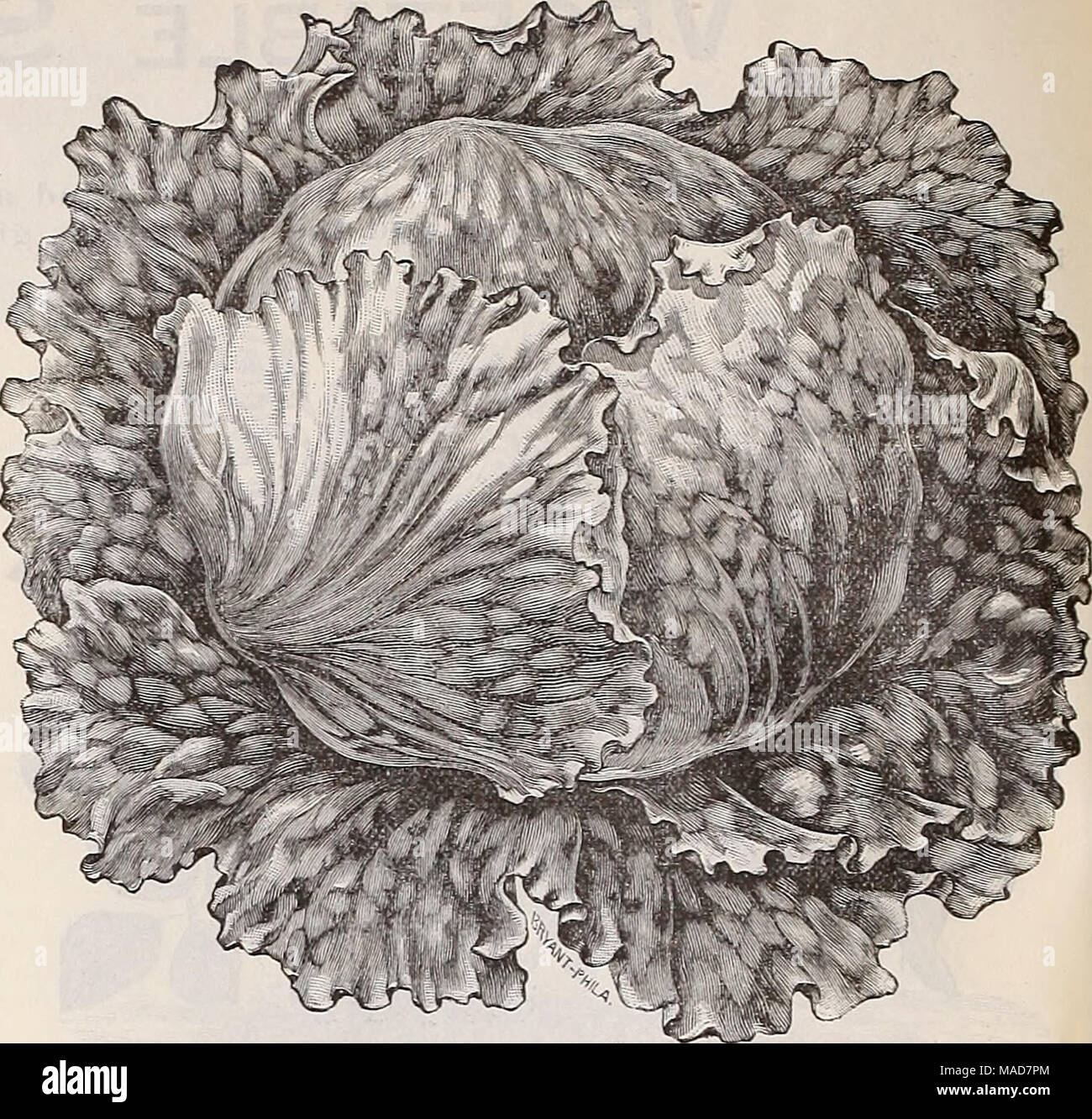 """. Dreer's quarterly wholesale price list of seeds plants bulbs &c. tools fertilizers sundries &c . New Lettuce, """"Wonderful.'' The Jleui family of Extra Early Wrinkled Peas. - Stock Image"""