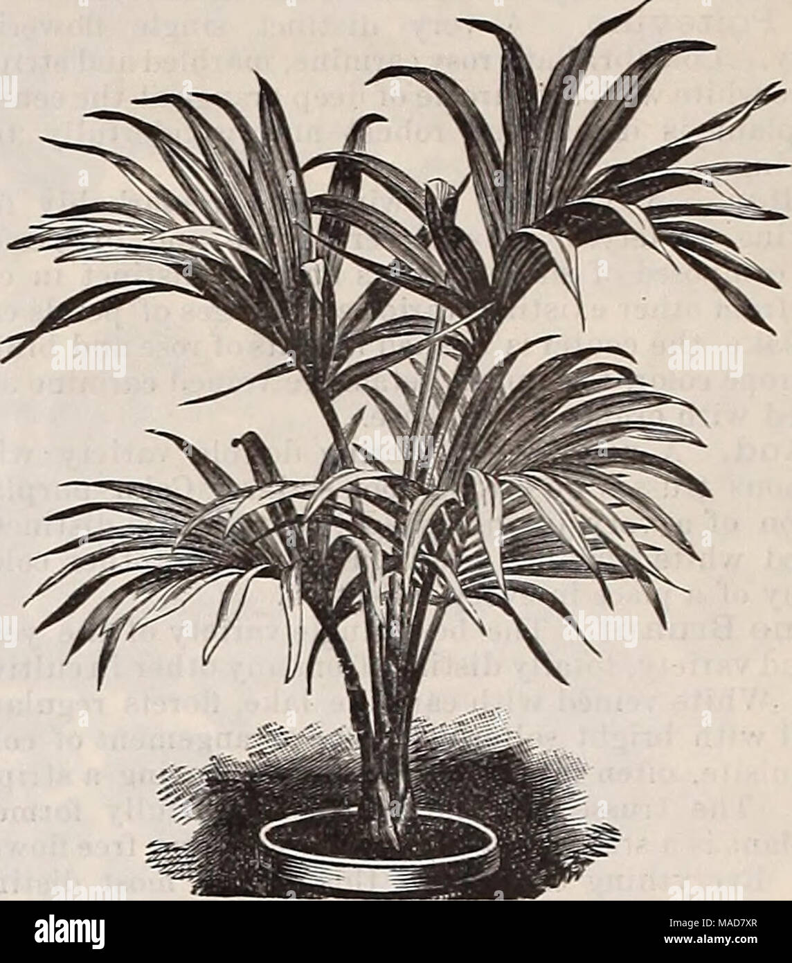 . Dreer's quarterly wholesale price list : seeds plants bulbs tools fertilizers sundries &c . Kentia Belmoreana. Kentia Fosteriana. We are the largest growers of Palms in this country. The additional 106,000 square feet of glass erected by us during the past two summers is being devoted entirely to this class of plants. Our stock of young Palms especially, has never been so complete as at the present time, being clean, healthy and well grown, and we are certain will compare favorably with stock supplied by us in previous seasons. We limit our list to the popular and desirable varieties for - Stock Image