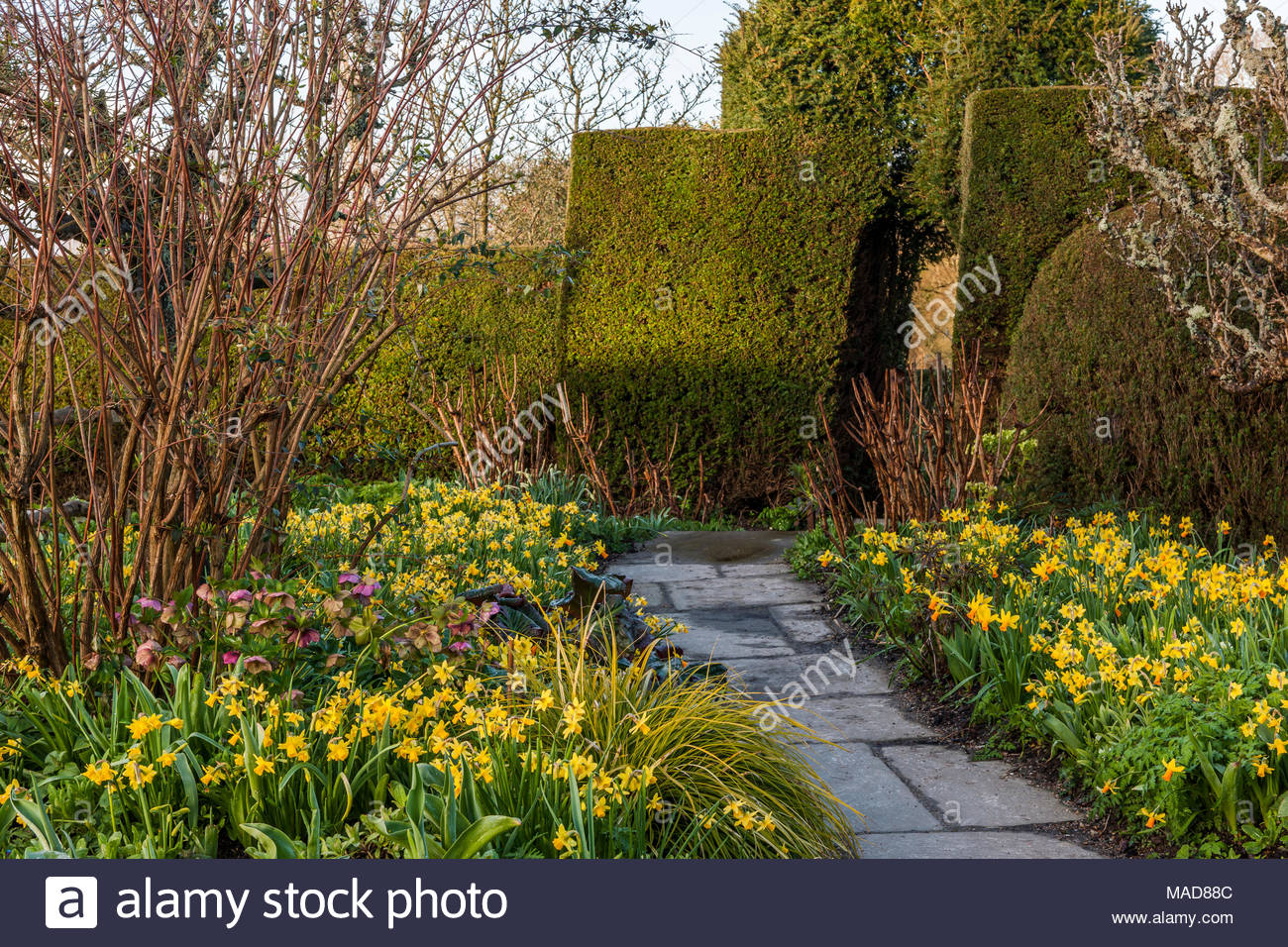 Daffodils in The High garden at Great Dixter Stock Photo: 178542124 ...