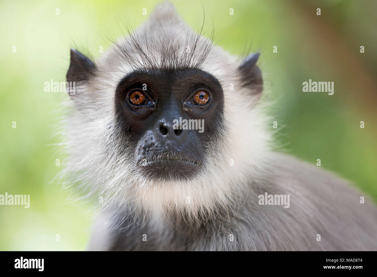 Gray langurs or Hanuman langurs, Semnopithecus entellus, are the most widespread langurs of the Indian Subcontinent. They are found throughout most of - Stock Image