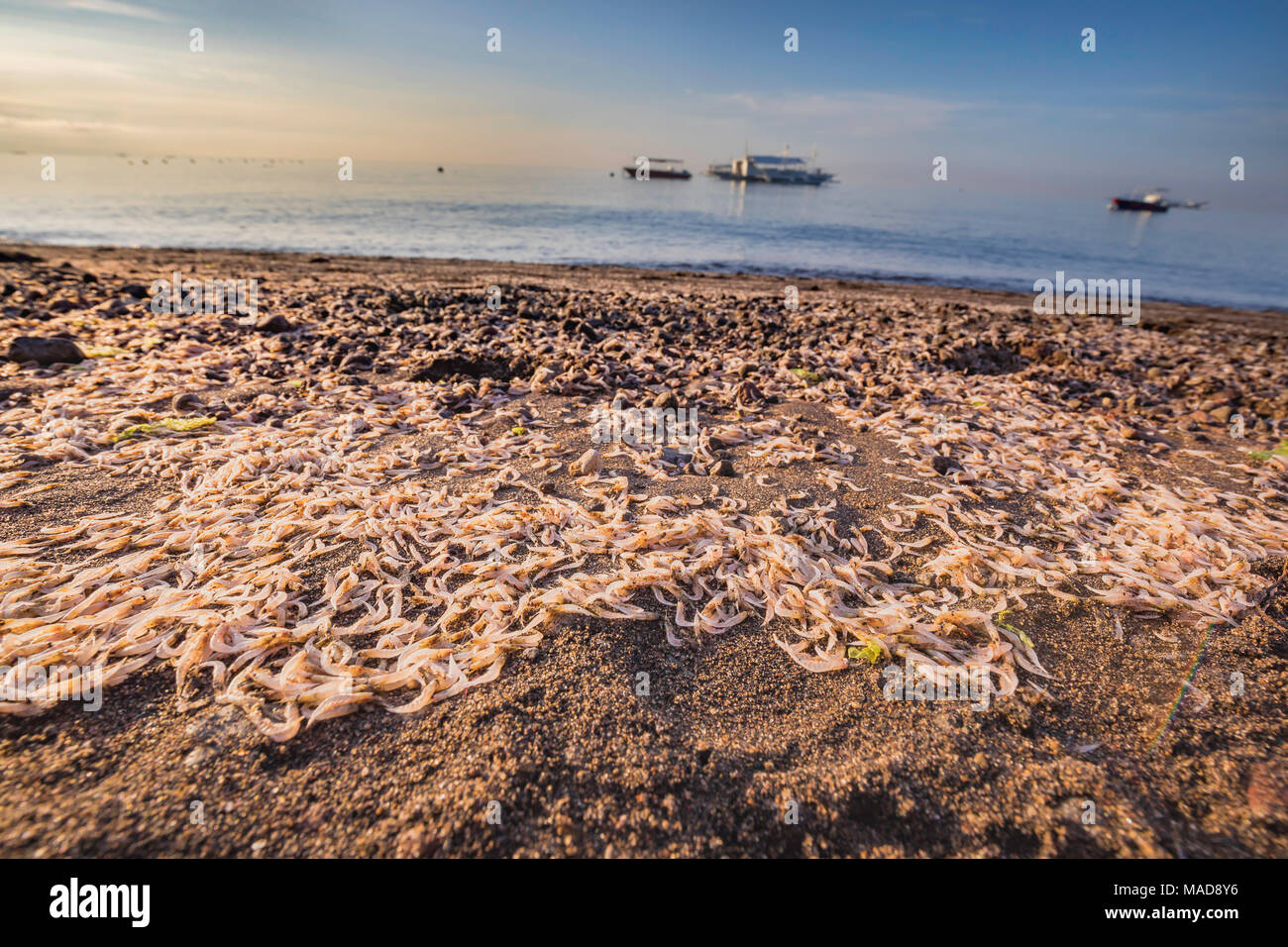 At night plankton is attracted to lights on the coastline where this mass is pictured. The majority here are an unknown species of mysid shrimp of the Stock Photo