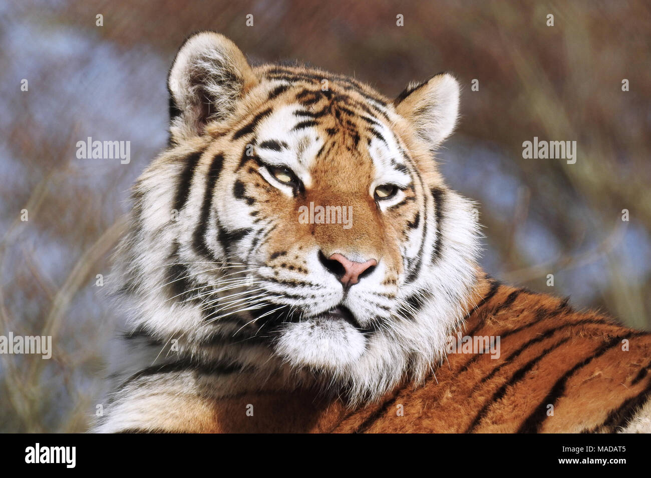 Tiger - Stock Image