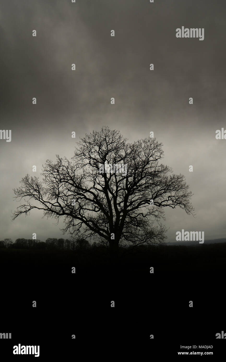 Silhouette of an Oak tree with bare branches. - Stock Image