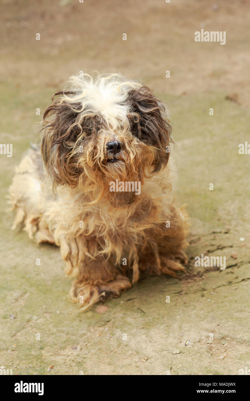 Cute havanese puppy looks dirty but happy, lay down on