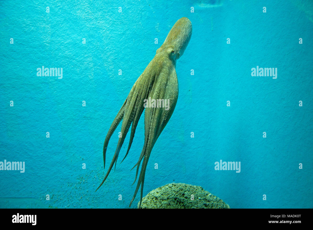 octopus at the aquarium, old town, Dubrovnik, Croatia - Stock Image