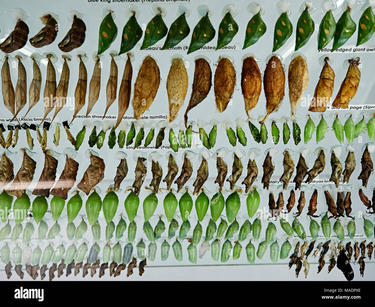 Display of butterfly chrysalides or pupa in the metamorphosis enclosure at the Callaway Gardens Butterfly House, Pine Mountain Georgia, USA. - Stock Image