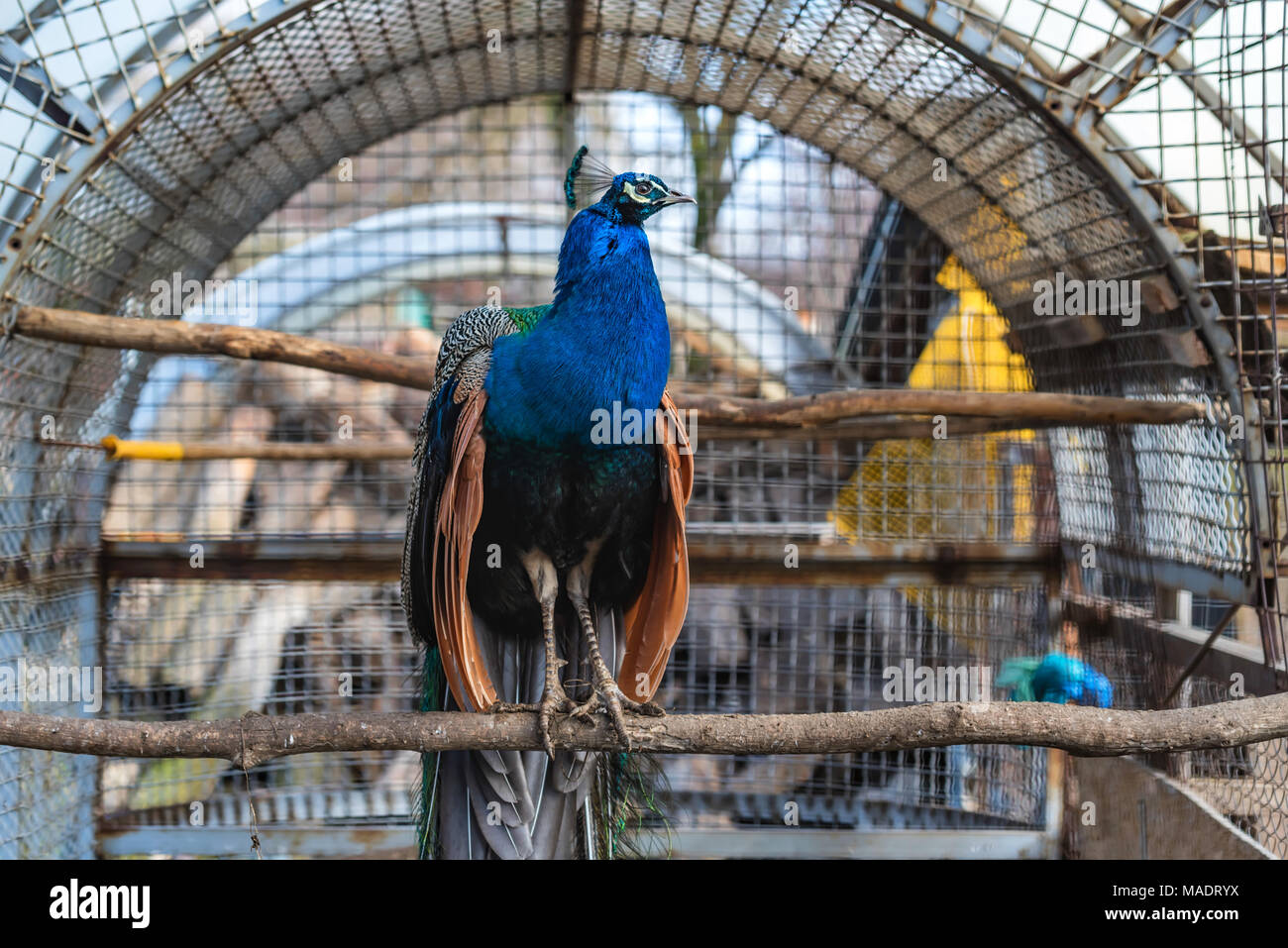 Peacock or pavo cristatus perches in cage close - Stock Image