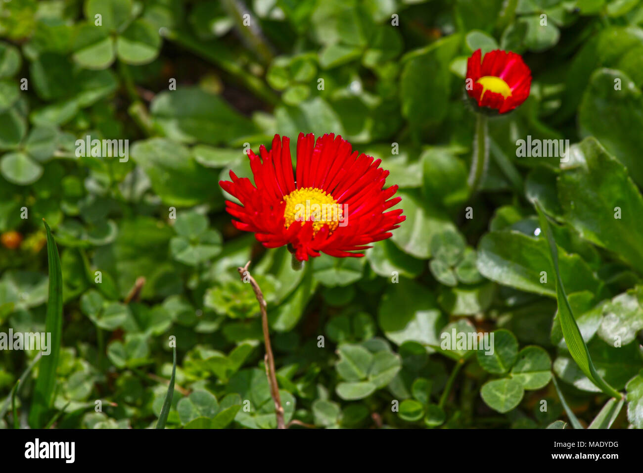 Daisy Red Daisy Flowers In Spring On A Meadow In Green Grass In
