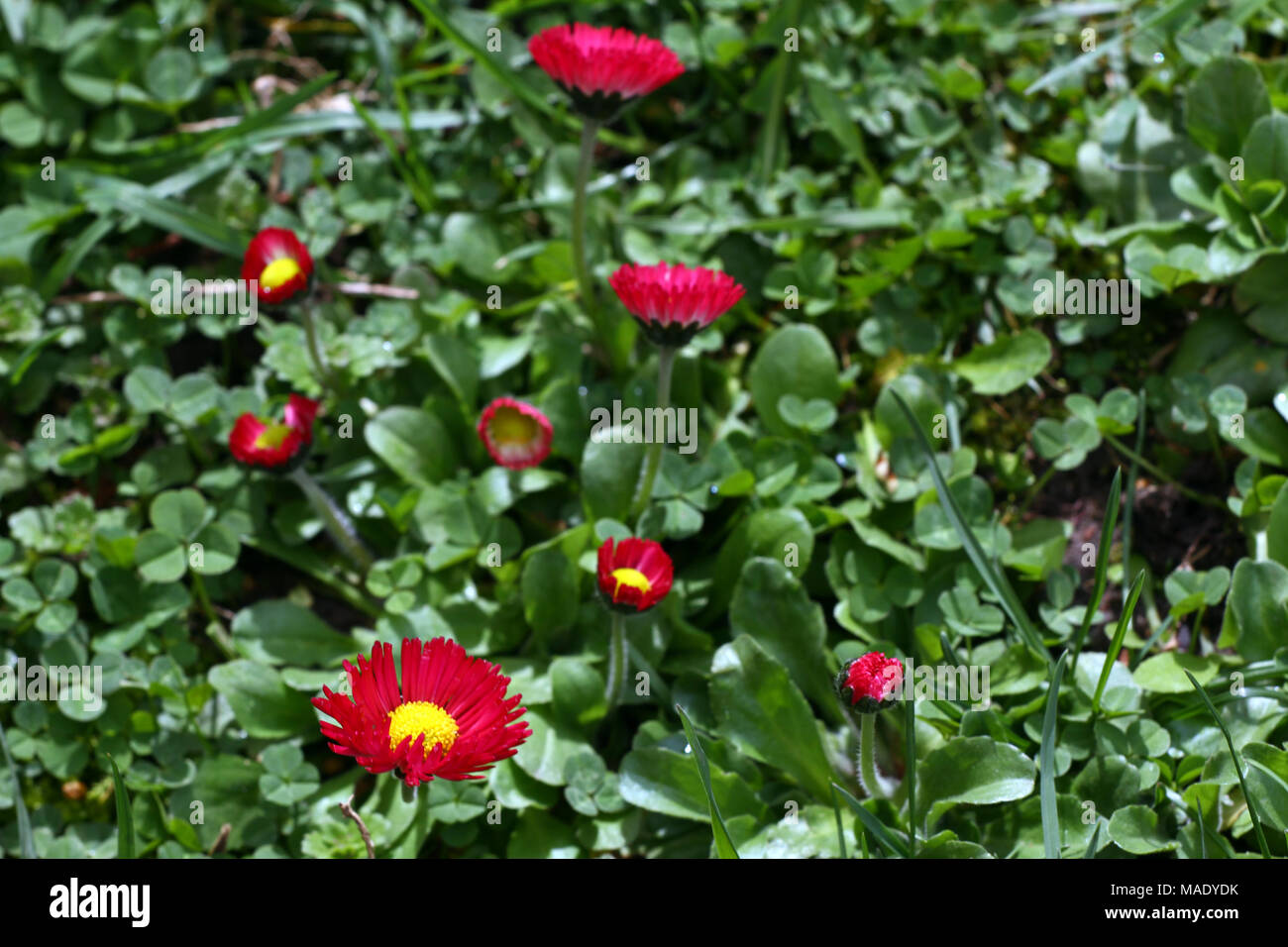 Daisy red daisy flowers in spring on a meadow in green grass in daisy red daisy flowers in spring on a meadow in green grass in nature marguerite flowers floral pattern coin flower spring and summer flowers ba izmirmasajfo