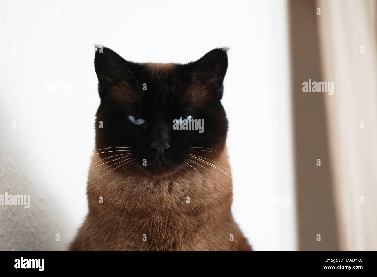 siamese cat with narrowed eyes and menacing look - Stock Image