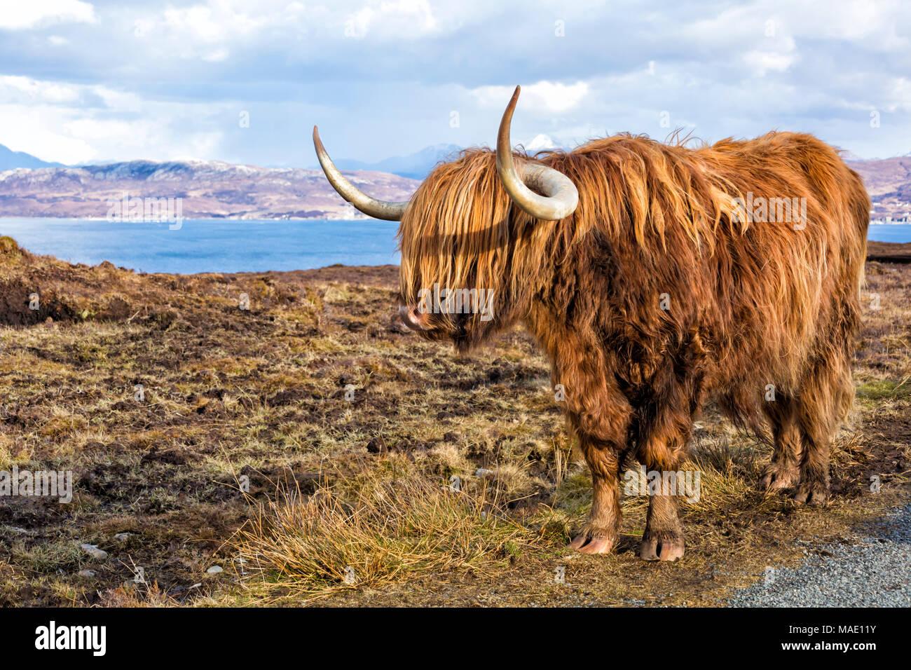 Highland cattle cow in landscape on Isle of Skye near Elgol, Scotland, UK in March - Stock Image