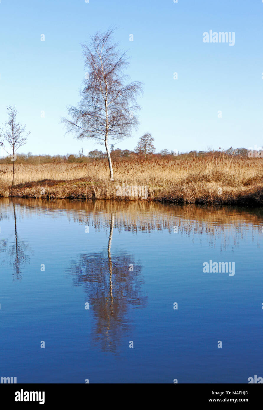 A view of a Silver Birch tree and reflection on the River Ant on the Norfolk Broads at Irstead, Norfolk, England, United Kingdom, Europe. - Stock Image