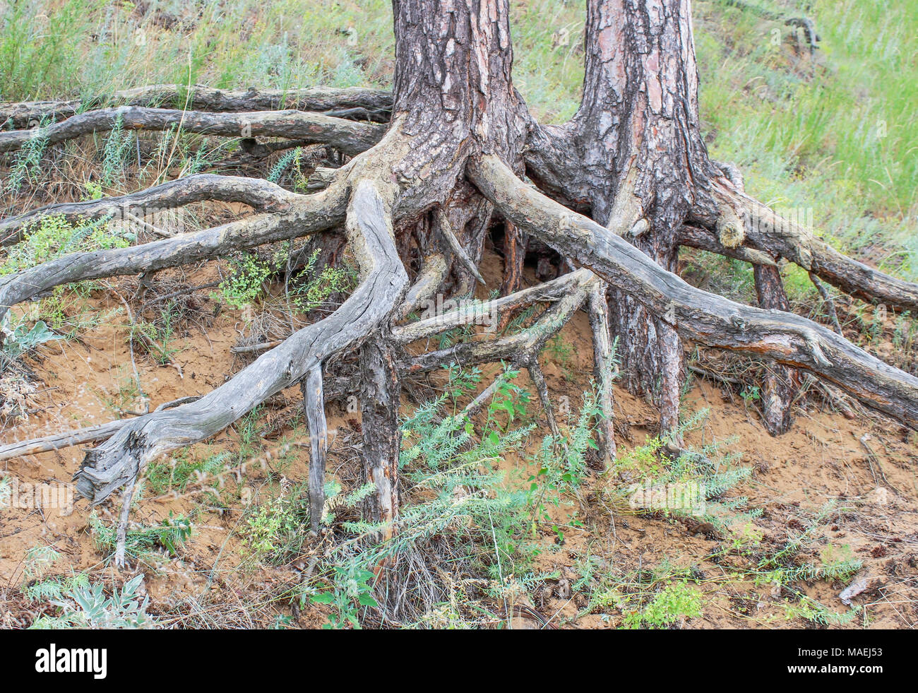 Exposed Tree Root System Stock Photos Amp Exposed Tree Root