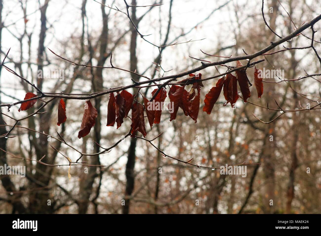 Dead leaves still hanging onto branch all in a row with blurred background - Stock Image