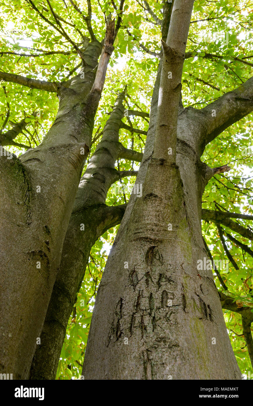 View from below of a horse chestnut tree with illegible letters and names carved in its trunk. - Stock Image