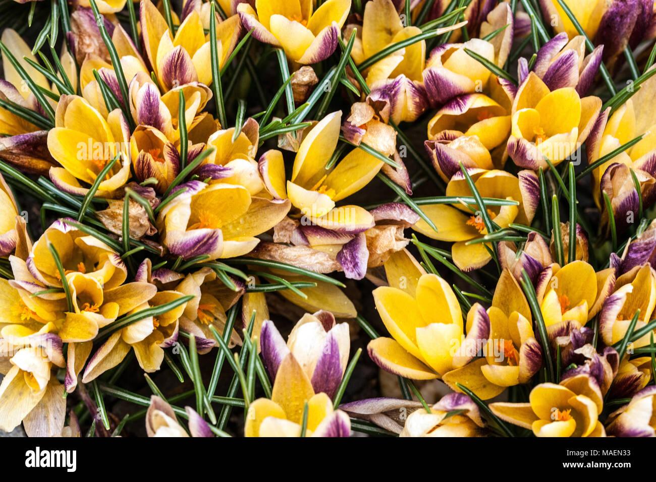 cba0fff4d43e33 Crocus chrysanthus
