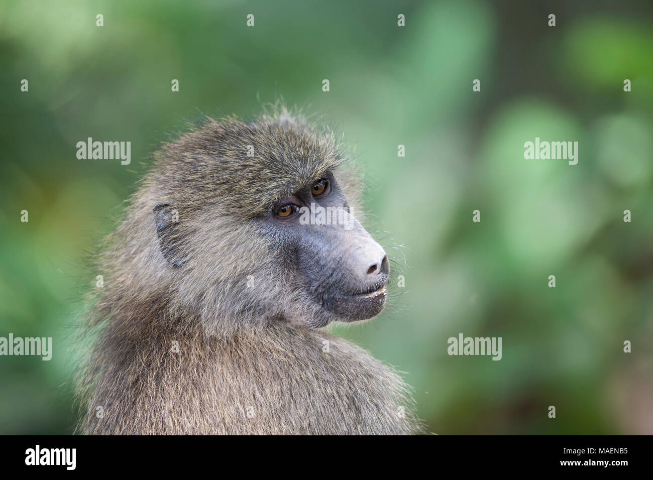 Close up portrait of Olive Baboon Papio cynocephalus anubis in undergrowth in Tanzania - Stock Image