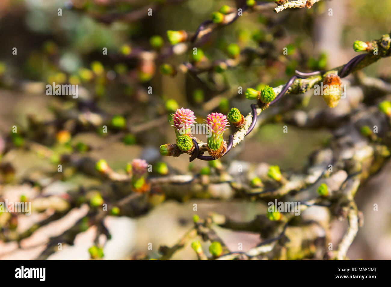Tiny flowers on a branch of a European Larch bonsai tree that has been wired recently - Stock Image