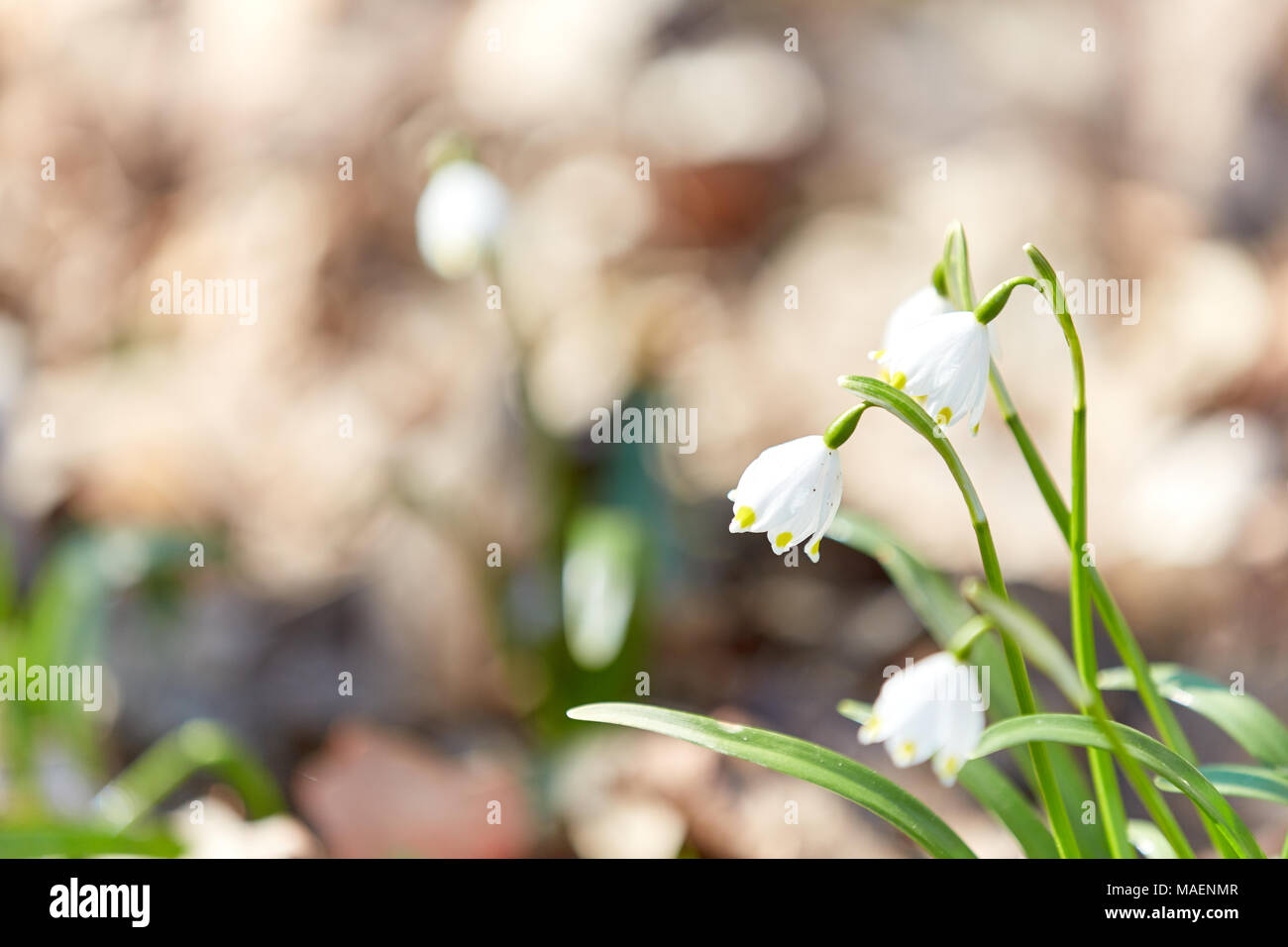 spring snowflake in the forest in the daylite sun Stock Photo